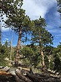 2015-04-30 16 04 54 Ponderosa Pines along the Trail Canyon Trail in the Mount Charleston Wilderness, Nevada about 1.7 miles north of the trailhead.jpg