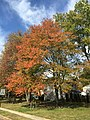2015-10-22 12 16 42 Red Maple during autumn along Great Woods Drive in Ewing, New Jersey.jpg