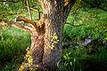 20150510 Hönower Weiherkette - Krautweiher Baum by sebaso IMG 4139.jpg
