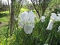 2017-03-28 Iris albicans, Alcaria, Albufeira (1).JPG