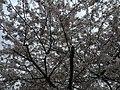 2017-04-03 16 17 36 White Flowering Cherry flowers along Ladybank Lane near Ladybank Lane in the Chantilly Highlands section of Oak Hill, Fairfax County, Virginia.jpg