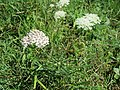 2017-07-28 (030) Achillea millefolium (common yarrow) at Haltgraben, Tiefgrabenrotte, Frankenfels, Austria.jpg