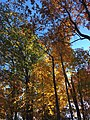 2017-11-10 16 00 17 View up into the canopy of several trees during late autumn within Hosepen Run Stream Valley Park in Oak Hill, Fairfax County, Virginia.jpg