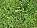 2018-05-13 (164) Unidentified Asteraceae (aster) at Bichlhäusl, Tiefgrabenrotte, Frankenfels, Austria.jpg