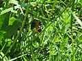 2018-05-13 (179) Female Lycaena tityrus (Sooty Copper) at Bichlhäusl in Frankenfels, Austria.jpg