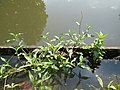 20180802Persicaria amphibia1.jpg
