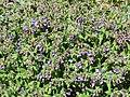 2019-04-25 (107) Pulmonaria officinalis (common lungwort) at Haltgraben, Frankenfels, Austria.jpg