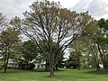 2019-04-25 10 23 52 A Red Maple heavily laden with mature seeds along Franklin Farm Road in the Franklin Farm section of Oak Hill, Fairfax County, Virginia.jpg