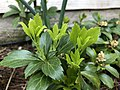 2019-04-25 14 05 46 New leaves in spring on Pachysandra along Tranquility Court in the Franklin Farm section of Oak Hill, Fairfax County, Virginia.jpg