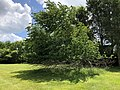 2019-05-31 12 49 00 A Cherry tree broken during a storm, with all the lower leaves having been eaten by deer, along a walking path in the Franklin Glen section of Chantilly, Fairfax County, Virginia.jpg