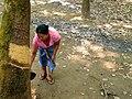 20200208 110819 Rubber plantation Bago Division, Myanmar anagoria.jpg