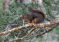 3596 douglas squirrel munsel odfw (14847543460).jpg