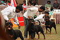 3Rottweilers getting ready for a side-on examination.jpg