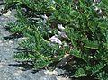5276-Astragalus sempervirens-Fr. Alpy-08.JPG