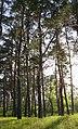 65-103-5003 старі сосни Гола Пристань.jpg