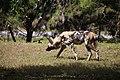 AFRICAN WILD DOG (13969721763).jpg