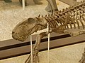 AMNH 2240 Lycaenops skull.jpg