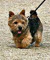 A Norwich Terrier.jpg