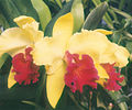 A and B Larsen orchids - Brassolaeliocattleya Alma Kee 662-20z.jpg