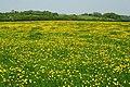 A carpet of buttercups - geograph.org.uk - 800437.jpg