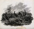 A covey of partridges. Etching by J. Scott, ca. 1801, after Wellcome V0022770.jpg