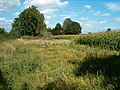 A field of maize - geograph.org.uk - 231187.jpg