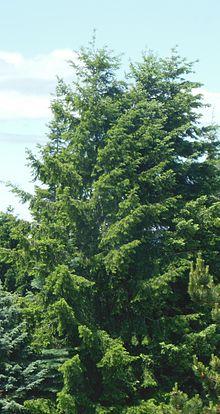 Douglas fir - Wikipedia
