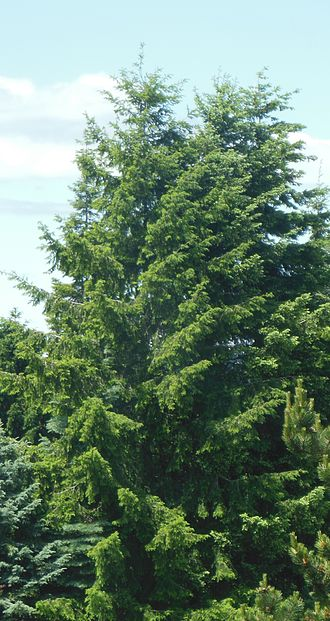 Douglas fir - Coast Douglas firs in Marysville, Washington