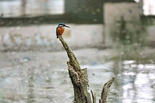 A kingfisher is waiting to catch a fish at Comilla Zoo & Botanical Garden 2018-01-13 (1).jpg