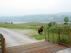 English: A solitary Shetland pony below the ca...