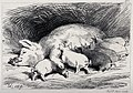 A sow lying down in the pen, with six piglets feeding. Etchi Wellcome V0020824.jpg
