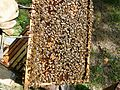 Abeilles et ruches 09.JPG