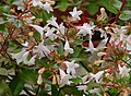 Abelia grandiflora A.jpg