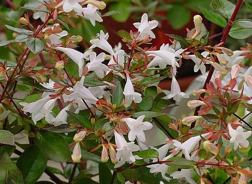 Abelia grandiflora Als geschikte drachtplant voor bijen, hommels, vlinders en andere insecten
