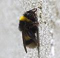 Abellon - Abejorro - Bumblebee - Bombus Terrestris - 02.jpg