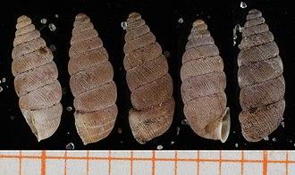 Abida vasconica - Five shells of Abida vasconica  scale bar in mm