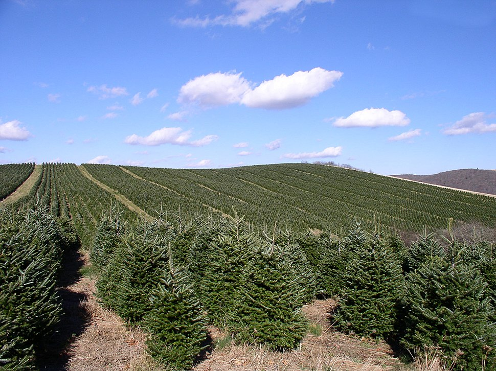 Abies fraseri plantation