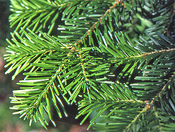 Abies veitchii2.JPG