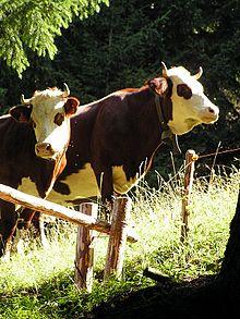 abondance cattle wikipedia