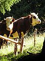 Abondance cows.jpg