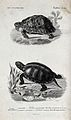 Above, a mauritian tortoise; below, a turtle. Etching by Oud Wellcome V0021290.jpg