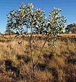 Acacia colei ii.jpg