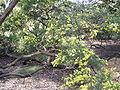 Acacia fimbriata 01.jpg