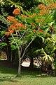 Acacia roja - Flmaboyant (Delonix regia) (14427037168).jpg