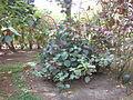 Acalypha hispida - Jardin d'Éden.JPG