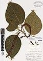 Acalypha hispida Burm.f. (AM AK150677).jpg