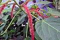 Acalypha hispida in US Botanic Garden.jpg