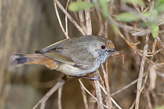 Brown thornbill - A Brown Thornbill