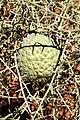 Acanthosicyos horridus fruit in Namibia.jpg