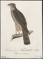 Accipiter nisus - 1800-1812 - Print - Iconographia Zoologica - Special Collections University of Amsterdam - UBA01 IZ18300077.tif